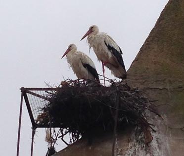 Caceres Storks