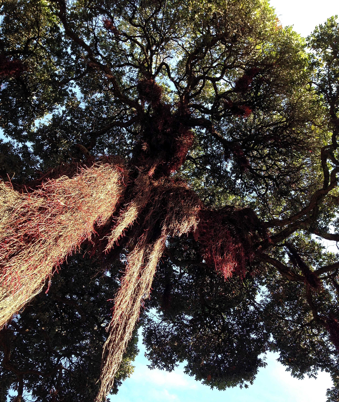 Tree_Cadiz