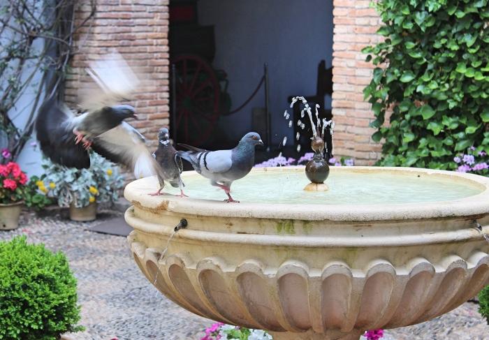 Cordoba_pigeons